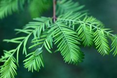 Leaves of a dawn redwood Stock Images