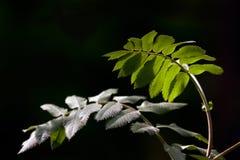 Leaves& del serbal Imagen de archivo libre de regalías