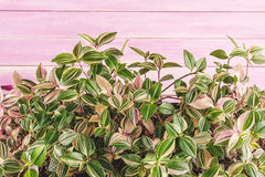Leaves detail, macro photography of plant, green plant detail on pink wooden background Royalty Free Stock Photography