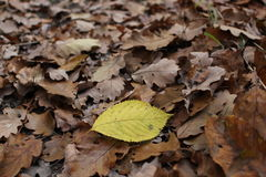 Leaves. A detail of a yellow leaf on brown oak tree leaves on the ground royalty free stock photo