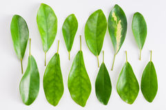 Leaves. Various green leaves,white background Royalty Free Stock Photo