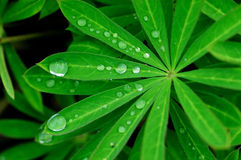 The leaves and dew. With the early morning dew leaves Royalty Free Stock Photos