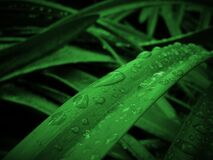 Leaves With Dew Drops Royalty Free Stock Image