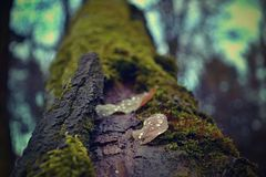 Leaves with dew drops on a dead tree covered with moss. stock images