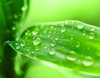 Leaves with dew drops Stock Image