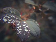 Leaves and dew royalty free stock image