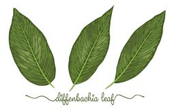 Leaves of diffenbachia elements set. Botany hand drawn graphic i. Llustration. Collection of diffenbachia foliage on a white background. Vector beautiful vector illustration