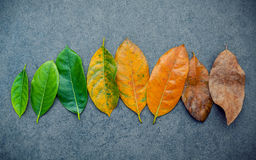 Leaves of different age of jack fruit tree on dark stone backgro Royalty Free Stock Photography