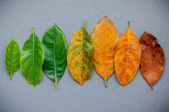 Leaves of different age of jack fruit tree on gray background. A Royalty Free Stock Image