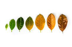 Leaves of different age of jack fruit tree on white background c Royalty Free Stock Photos