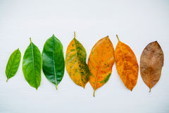 Leaves of different age of jack fruit tree on white wooden backg Stock Image