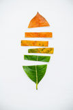 Leaves of different age of jack fruit tree on white wooden backg Stock Photography
