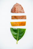 Leaves of different age of jack fruit tree on white wooden backg Royalty Free Stock Photo