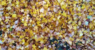 Colorful leaves scatter from the wind stock footage