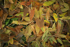 Leaves of different colors on the ground. Autumn leaves green and yellow, brown covered the whole ground Stock Image