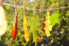 Leaves of different colors lined up on a string Royalty Free Stock Image