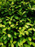 Leaves with Different Shades of Green. A bush with leaves with different shades of green Stock Photos
