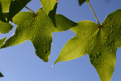 Leaves and droples. Leaves with water droplets on them Royalty Free Stock Image