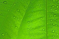 Leaves with drops Royalty Free Stock Images