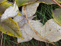 Leaves with drops of dew Stock Photo