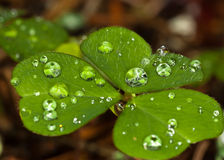 Leaves with drops of water. Royalty Free Stock Image