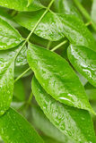 Leaves with drops of water Stock Images