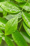 Leaves with drops of water Royalty Free Stock Photos