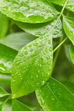 Leaves with drops of water Stock Photo