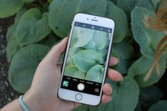 iPhone photographing green Leaves royalty free stock images