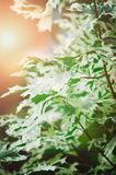Leaves Drummond Norway maple Acer platanoides Drummondii in the rays of bright sunshine royalty free stock photography