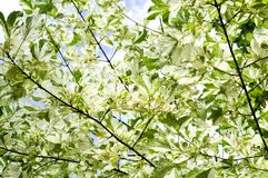 Leaves Drummond Norway maple Acer platanoides Drummondii in the rays of bright sunshine Royalty Free Stock Photo