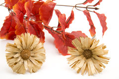 Leaves and dry flowers. Branch with red leaves and dry flowers Stock Image