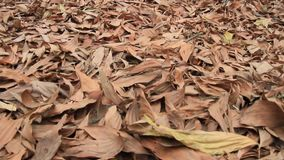 Leaves dry on the ground. The Leaves dry on the ground stock video