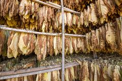 Leaves of tobacco drying in the shed. Leaves of dry tobacco in the factory Royalty Free Stock Images