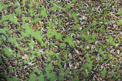 Leaves on Duck Weed. Brown leaves rest on top of green duck weed Stock Image
