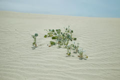 Leaves in the dunes of De hoop nature reserve Royalty Free Stock Image