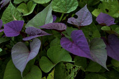 Leaves of early potatoes on beautiful. Stock Photo