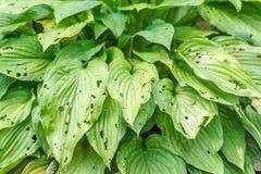 Leaves eaten by slugs Stock Image