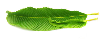 Leaves of elephant apple Stock Images