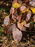 Leaves of elm in autumn at sunlight with bokeh background, selective focus, shallow DOF.  royalty free stock photo