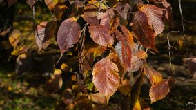 Leaves of elm in autumn at sunlight with bokeh background, selective focus, shallow DOF.  stock photography