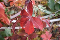 Red ivy on autumn stock photography