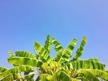 leaves för acaciabakgrundsgreen Royaltyfria Bilder