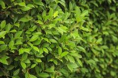 leaves för acaciabakgrundsgreen Fotografering för Bildbyråer