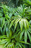 leaves för acaciabakgrundsgreen Royaltyfri Fotografi