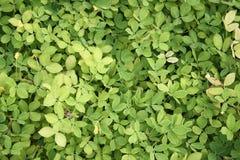 leaves för acaciabakgrundsgreen Royaltyfri Foto