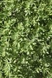 leaves för acaciabakgrundsgreen Arkivbilder
