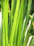 leaves för acaciabakgrundsgreen Solen som skiner till och med gröna sidor Royaltyfri Bild
