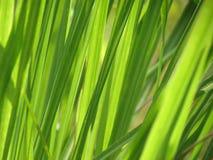 leaves för acaciabakgrundsgreen Solen som skiner till och med gröna sidor Arkivbild