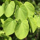 leaves för cercidiphyllumjaponicumkatsura Fotografering för Bildbyråer
